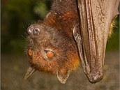 Z šíření eboly jsou podezřelí afričtí netopýři a kaloni.