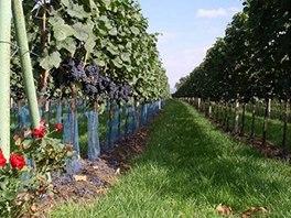 Vinař z Moravské Nové Vsi Lubomír Glos vyšlechtil odrůdu Cabernet Moravia.