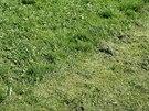 Trávu jsme napřed posekali na nízko - kolem čtyř centimetrů.