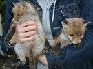 Nalezená liščata byla podle slov pracovníků Pražské zvířecí záchranky vyhublá...