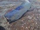 Hlístoun červenohřívý může dorůstat až délky 12 metrů.