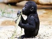 S pomlázkou si určitě poradí nejen gorilí mláďata.