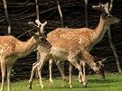 Daňci mezopotámští patří mezi zvířata, které návštěvníci spatří v novém safari.