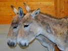 Pár vzácných oslů. Ostravské zoo se pro nové safari podařilo získat vzácné...
