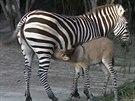 Zebroid, k��enec zebry a osla.