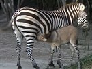 Zebroid, kříženec zebry a osla.