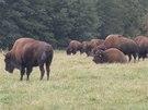 Dospělí samec bizona dorůstá váhy až jedné tuny.
