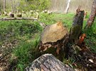 Přes dvacet stromů pokáceli bobři u Lenory na Prachaticku. Místo u Vltavy se stalo turistickou atrakcí.