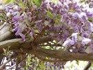 Vist�rie bohat� kvetou na zakr�cen�ch postrann�ch v�honc�ch, proto je spr�vn�...