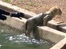 Jedno z lvíčat se ve vodě okamžitě otočilo a vydrápalo se zpátky na břeh.