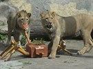 Napoleon s Bartem, lví brat�i z olomoucké zoologické zahrady, se p�est�hovali...