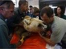 Tým izraelských veterinářů provedl operaci devatenáctiletého medvěda hnědého.