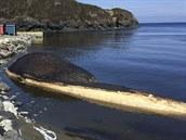 Zdechlina nešťastného plejtváka, který zřejmě zahynul v poli mořského ledu, v...