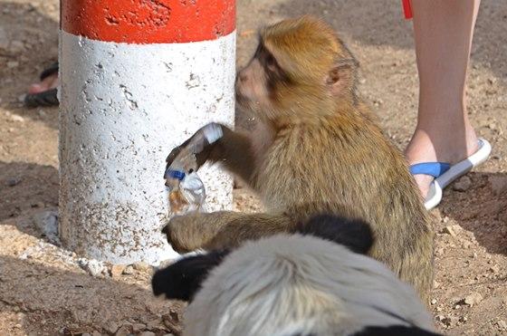 Opice - makak připravil Zorku Hejdovou v Maroku o sušenky.