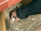 Pohlreich využil krátké nepozornosti slepice a sebral jí vejce.