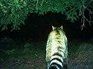 Záběr kočky divoké z fotopasti v Beskydech. Snímky zveřejnily společně...
