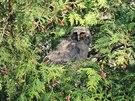 Kalous ušatý je pták z čeledi puštíkovitých. nápadně se podobá sově.