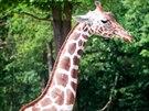 Žirafí samice Tabita z brněnské zoo zvítězila v hlasování o nej žirafu českých...