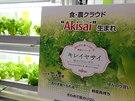 Pomocí cloudového systému Akisai zatím Fujitsu pěstuje jen salát. Později by...