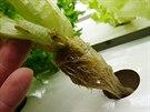 Houbovitá kostka pomáhá udržet kořeny v hydroponickém roztoku.