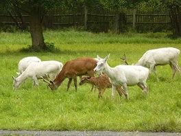 V oboře zámku Žleby na Kutnohorsku je možno spatřit oboru vzácných bílých jelenů
