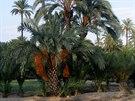 Elche, palmový háj ve městě (Costa Blanca)