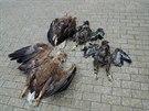 Celou rodinu orlů otrávil někdo u Bechyně.