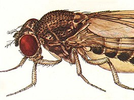 Na pohled nenápadná: Drosophila bifurca