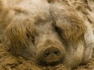 I přes ochlupení prasata milují kaliště.