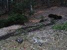 Otrávená liška a káně ležely v bezprostředním sousedství, na mýtině nedaleko...
