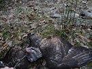 Detail mrtvého káněte, otráveného nedeleko lovecké chaty na Velkém Polomu