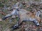 Ochránci přírody jsou přesvědčeni, že liška byla jako návnada použita úmyslně.