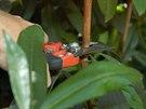 rododendrony, řez