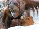 Roční orangutaní samička Diri se svým starším bratrem Gempou