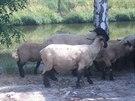Jedenáct ovcí se ve středu ráno procházelo v Papírenské ulici na Praze 6.
