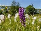 Kvetoucí vstavačové louky u Býkovic