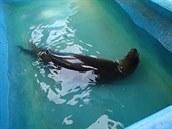 Lachtan zachráněný hasiči v Karviné se už chladí v bazénku. Jeho druh na...