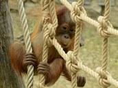 Roční orangutaní samička Diri poprvé venku