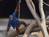 Různé oblečení nebo prostěradla jsou pro orangutany vítaným zpestřením dne....