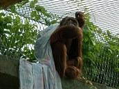 Orangutani různé oblečení nebo ložní prádlo přímo zbožňují, protože se do něj...