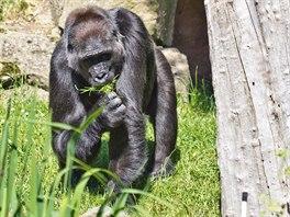 Goril� samice Kamba si u��v� �erstv� tr�vy ve venkovn�m v�b�hu.