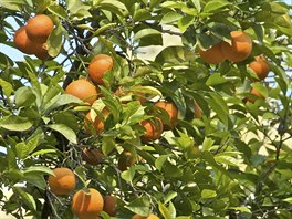 Neroli olej se získává z květů hořkých pomerančovníků