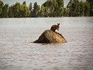 Záplavy v Austrálii. Na snímku je klokan, který uvázl na kupce sena nedaleko...