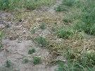 Z pole na Jičínsku někdo ukradl tři sta kilogramů unikátní sazby česneku.