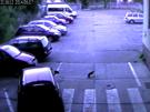 Kamerový systém zachytil kunu, která si smlsla na kabelech policejních aut.