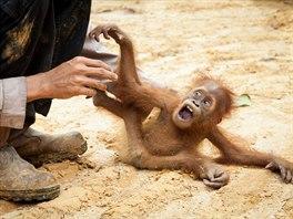 Kv�li odles�ov�n� p�ich�zej� o p�irozen� �ivotn� prost�ed� i orangutani. Na...