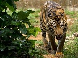 Jednou z ob�t� odles�ov�n� je i kriticky ohro�en� tygr sumatersk�. Jeho stavy v...