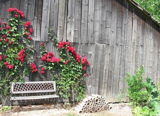 Popínavé růže se pomalu, ale jistě rozrůstají.