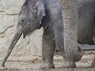 Sloní samička se svou matkou Vishesh.