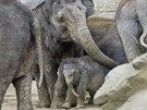Ostravské sloní stádo se před pěti měsíci rozrostlo. Vishesh porodila samičku.